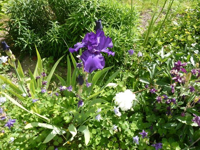 Associer nos iris à d'autres plantes pour de beaux massifs P1160910