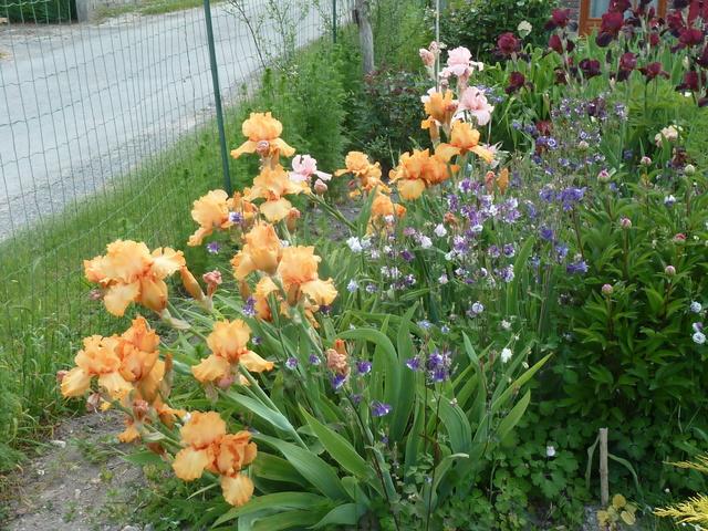 Associer nos iris à d'autres plantes pour de beaux massifs P1160911