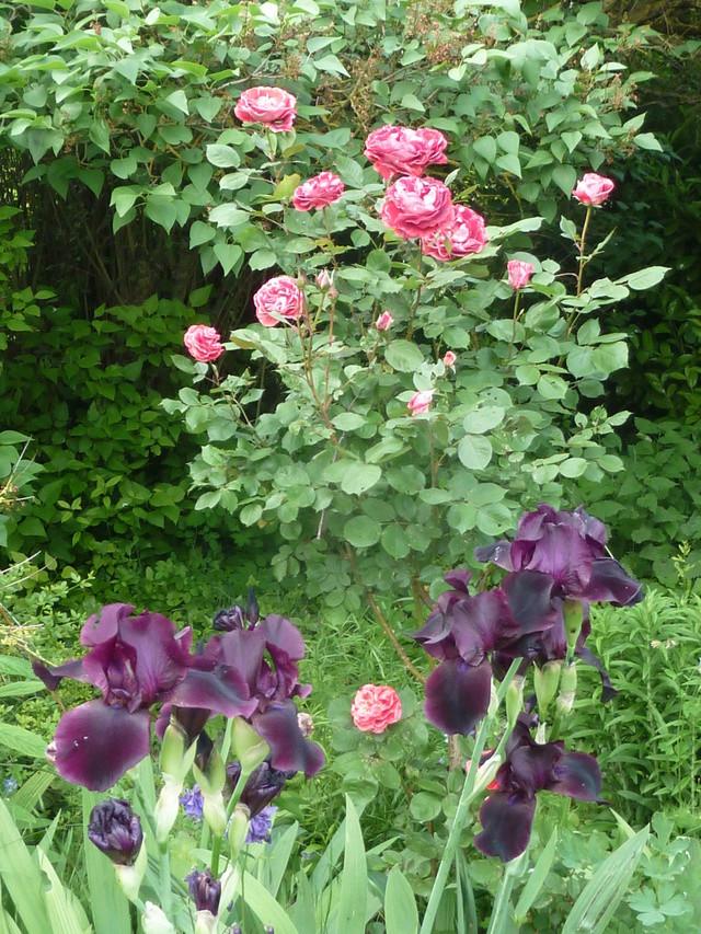 Associer nos iris à d'autres plantes pour de beaux massifs P1160912
