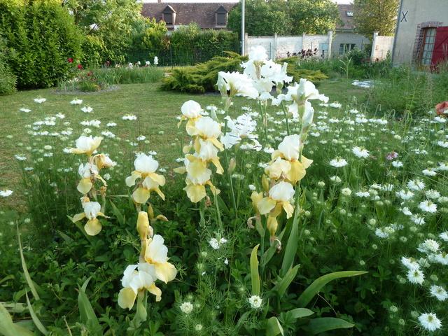 Associer nos iris à d'autres plantes pour de beaux massifs P1170010