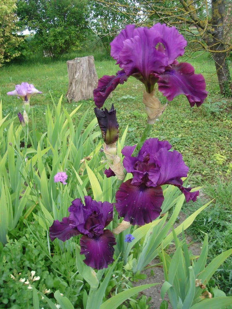 Iris 'Plum Fun' - Schreiner 2001 Plum_f10
