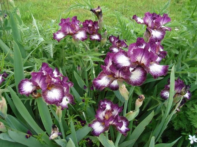 Iris 'Vitrail' - Richard Cayeux 2003 Vitrai10