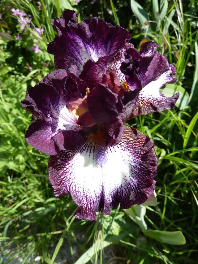 Iris 'Vitrail' - Richard Cayeux 2003 Vitrai12