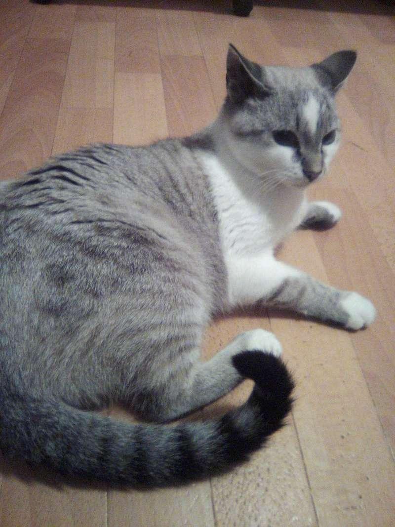 lolcat - Lolcat, mâle gris tabby et blanc, typé siamois né en novembre 2015 Img_2056