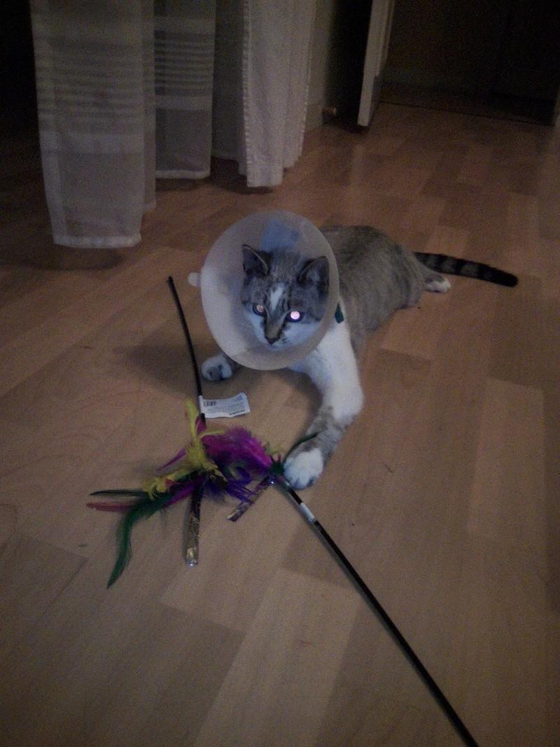 lolcat - Lolcat, mâle gris tabby et blanc, typé siamois né en novembre 2015 Img_2062
