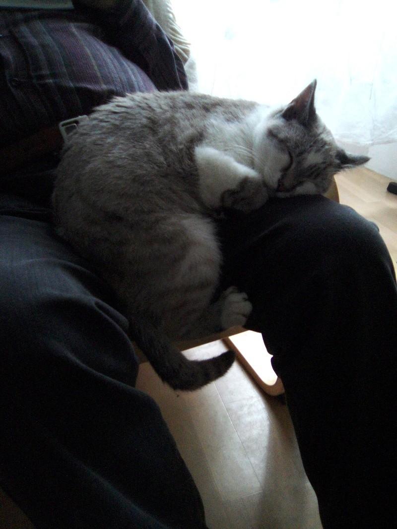 lolcat - Lolcat, mâle gris tabby et blanc, typé siamois né en novembre 2015 Img_2063
