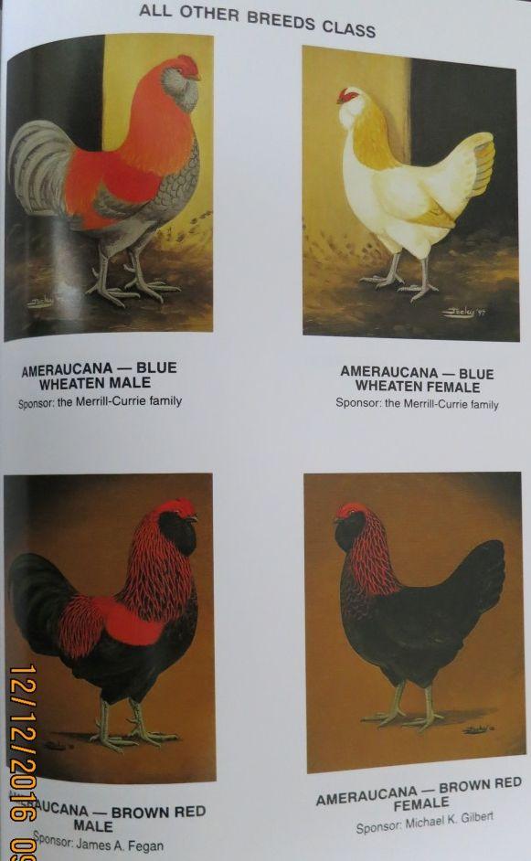 Амераукана, Ameraucana / Easter Egger 0419