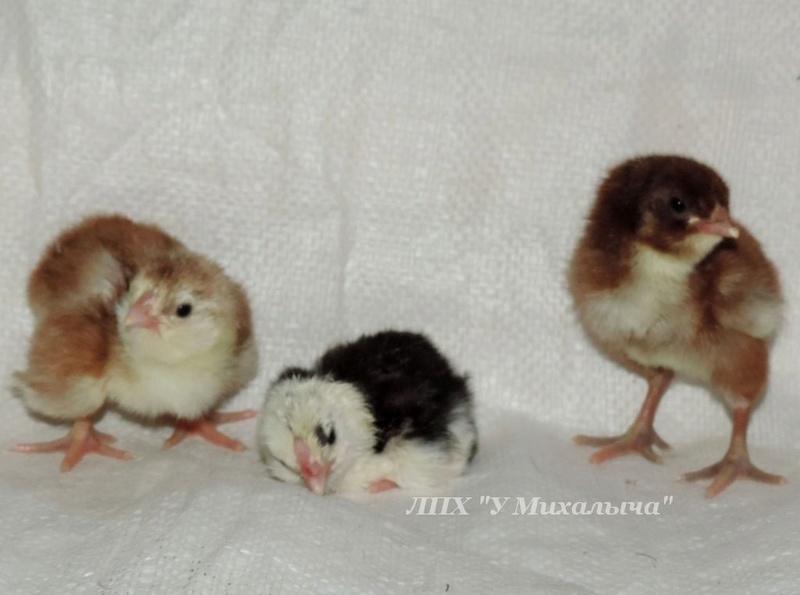 Гилянская порода кур, Gilan breed chickens Oaez-210