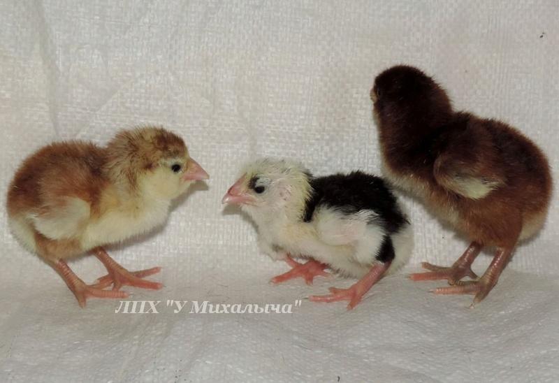 Гилянская порода кур, Gilan breed chickens Oaez-211