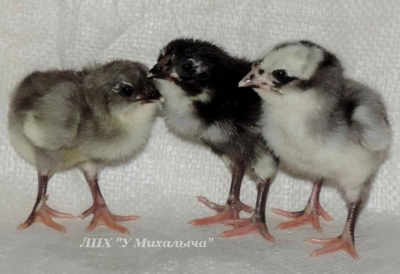 Гилянская порода кур, Gilan breed chickens Oaez-213