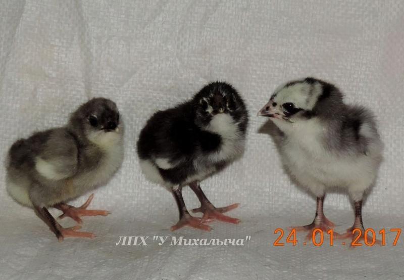 Гилянская порода кур, Gilan breed chickens Oaez-215
