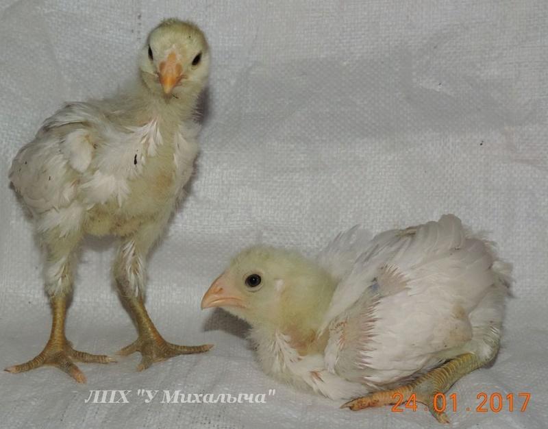 Гилянская порода кур, Gilan breed chickens Oaez-220