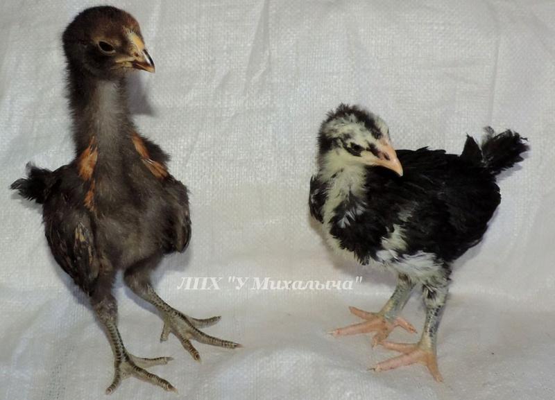Гилянская порода кур, Gilan breed chickens Oaez-222