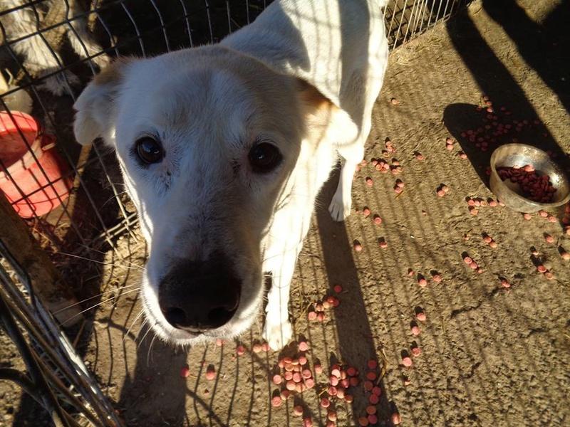 TILGA - x labrador blanc 8 ans   (4 ans de refuge) - Asso Arche d'Eternité - Lenuta (Roumanie)  15826710
