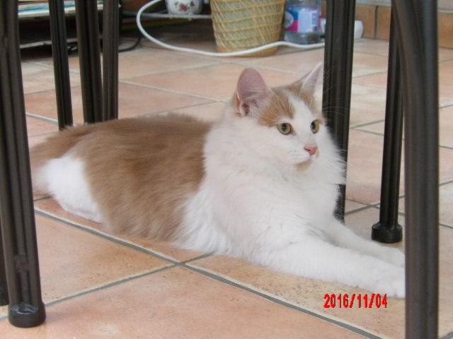 legston - LEGSTON, européen poils mi-longs blanc&roux, né en 2015 107_0818