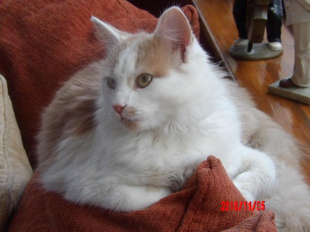 legston - LEGSTON, européen poils mi-longs blanc&roux, né en 2015 107_0819