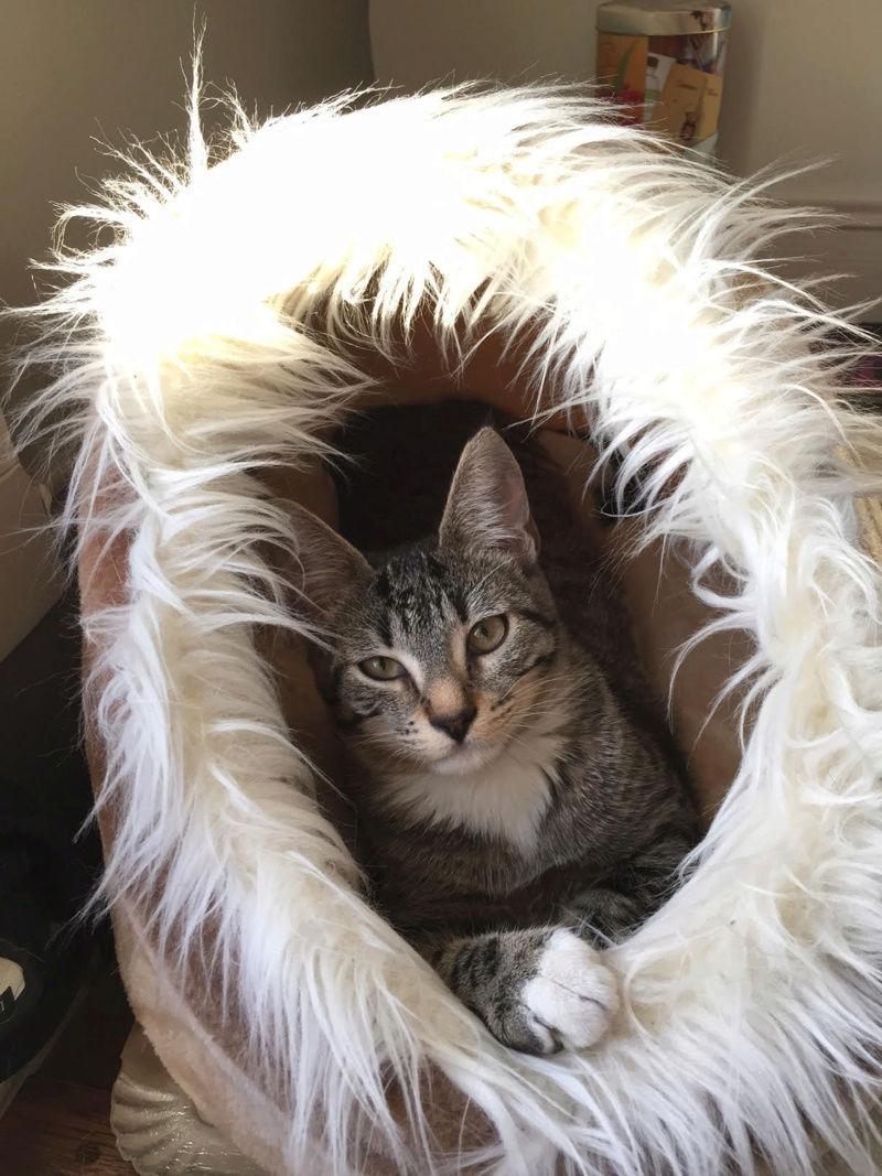 morine - Morine-chatonne brown tabby et blanc-née le 18/07/2016 110