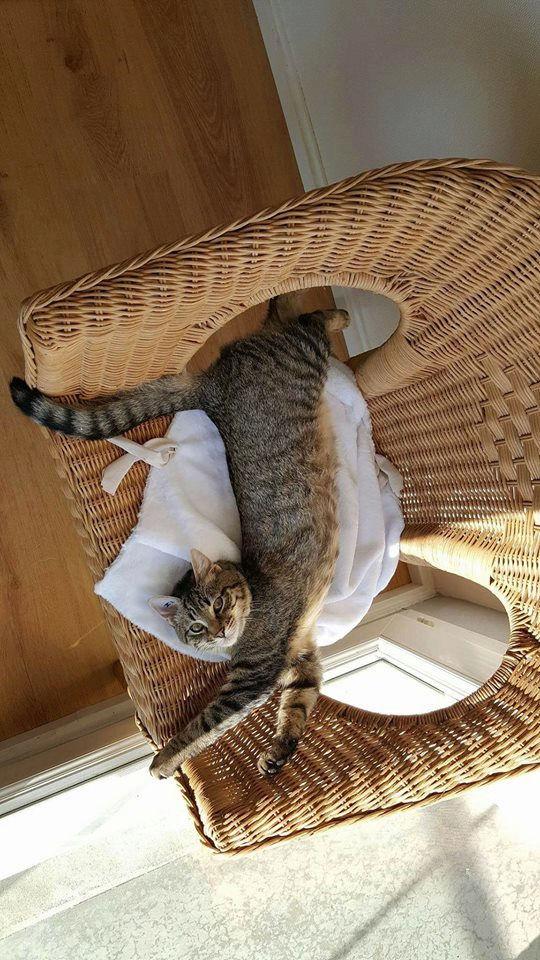 murano - MURANO, chaton européen tigré, né en Juin 2016 Murano10