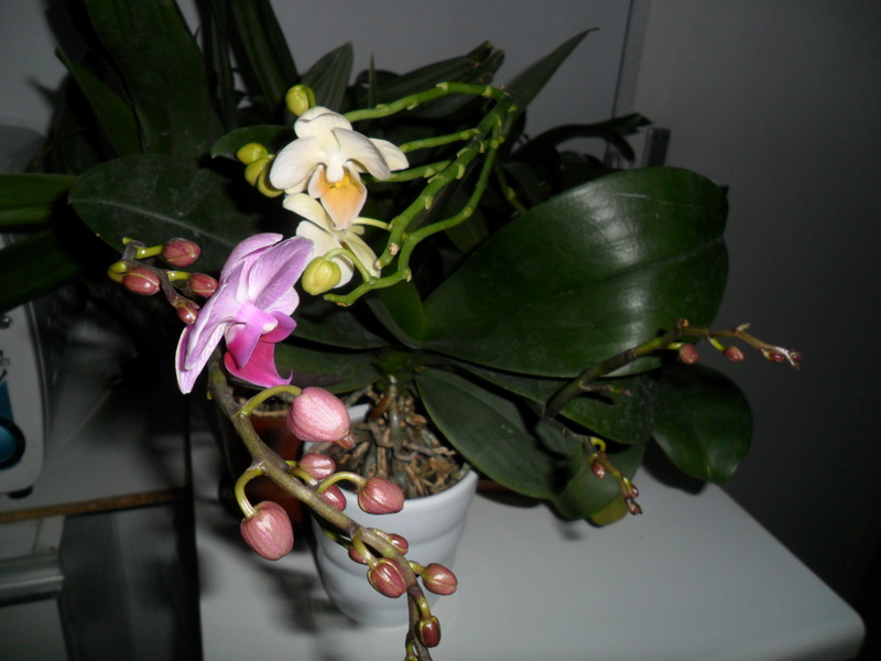 Mes orchidees - Page 3 Sam_7924