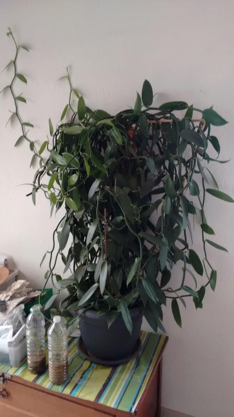 Culture et Entretien de la Vanilla Planifolia - Page 6 Img_2021