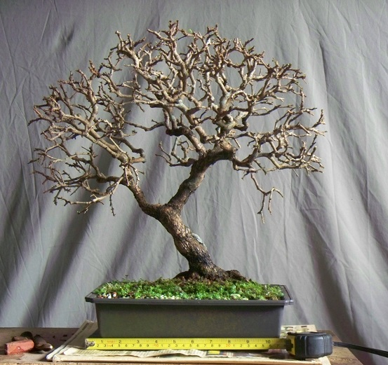 Merry Christmas tree - Oxy -------- Erythoxylum ovatum cav. Oxy110