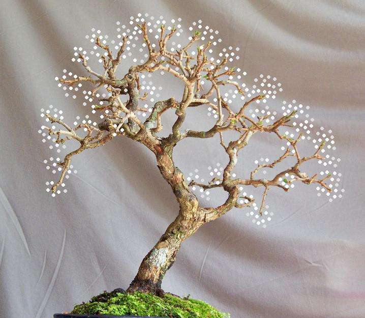 Merry Christmas tree - Oxy -------- Erythoxylum ovatum cav. Oxy_de10