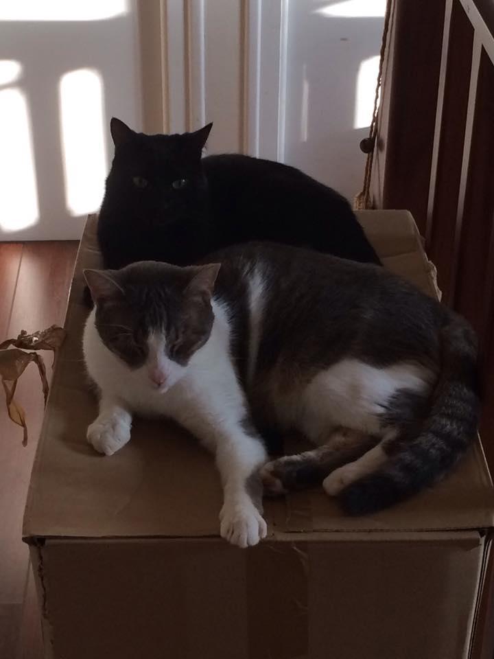 jasper - Jasper, chaton de type européen noir, né le 06/09/2014 en sauvetage! 15241310