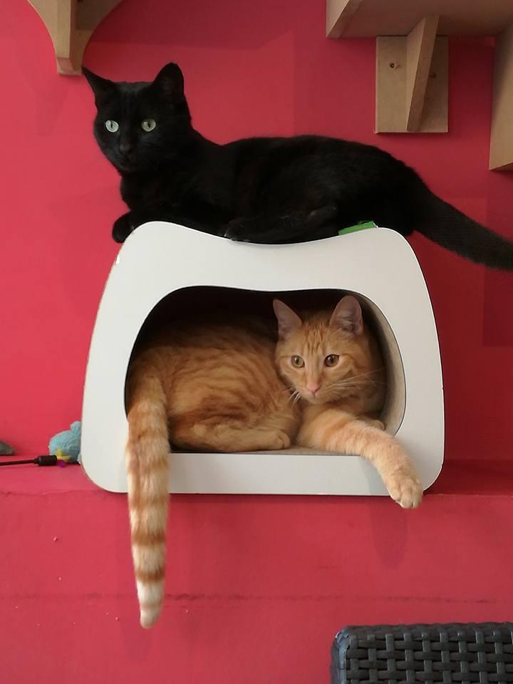 gaffy - GAFFY chat mâle européen noir né le 12/10/2011 16298910