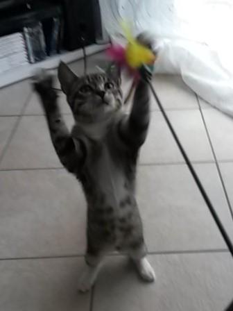 maestro - Maestro, chaton européen gris tigré aux pattes blanches, né en mai 2016 20160810