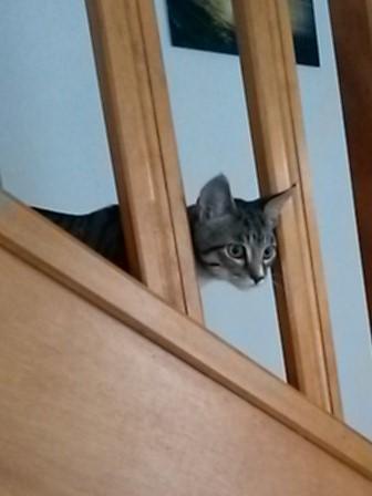 maestro - Maestro, chaton européen gris tigré aux pattes blanches, né en mai 2016 20161010