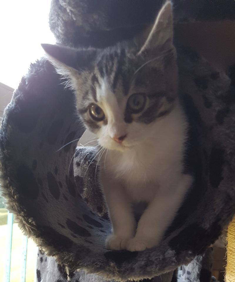 malouine - Malouine,  chatonne tigrée grise et blanche, née le 01/09/2016 20161119