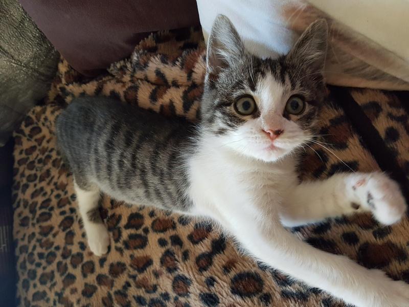 malouine - Malouine,  chatonne tigrée grise et blanche, née le 01/09/2016 20161127