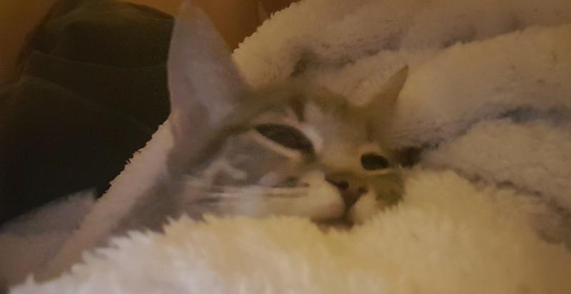 matisse - Matisse, chaton mâle gris tigré né le 1er sep 2016 20161221