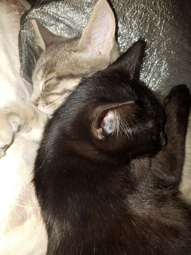 matisse - Matisse, chaton mâle gris tigré né le 1er sep 2016 20161224