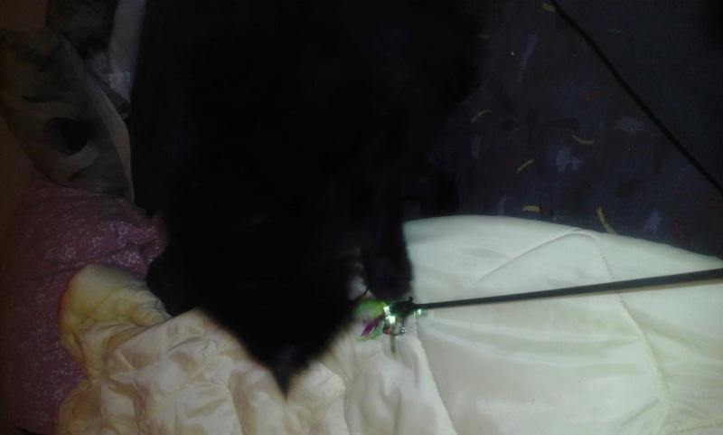 junette - Junette, minette noire, poils longs, née le 30/11/14 20161230