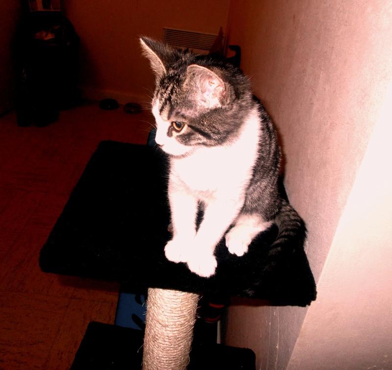 malouine - Malouine,  chatonne tigrée grise et blanche, née le 01/09/2016 Dscn0210