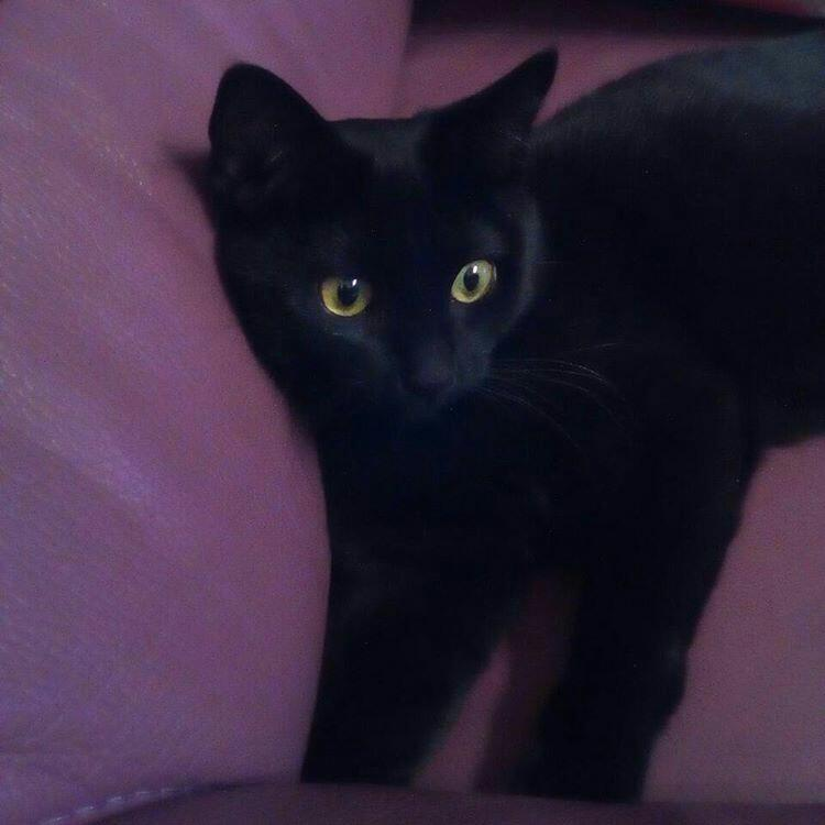 marilyne - Marilyne, femelle noire , type européen née en mai 2016 Img_2013