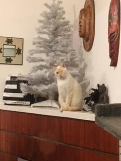 """lancome - Lancôme, jeune chat mâle crème """"red point"""", né en novembre 2015, EN DON LIBRE Img_2111"""
