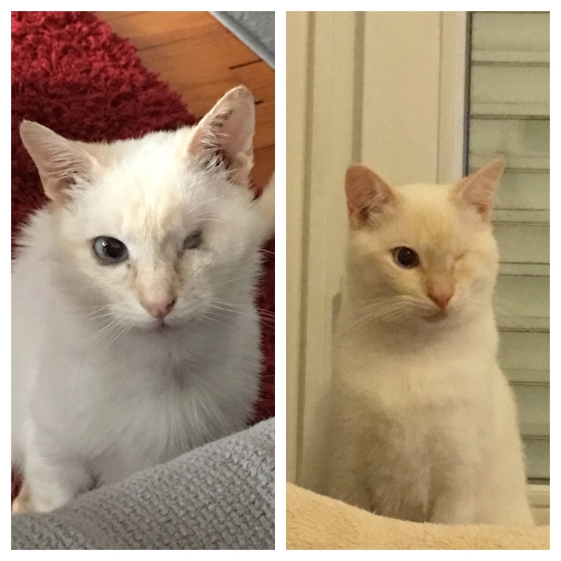 """lancome - Lancôme, jeune chat mâle crème """"red point"""", né en novembre 2015, EN DON LIBRE Img_2112"""