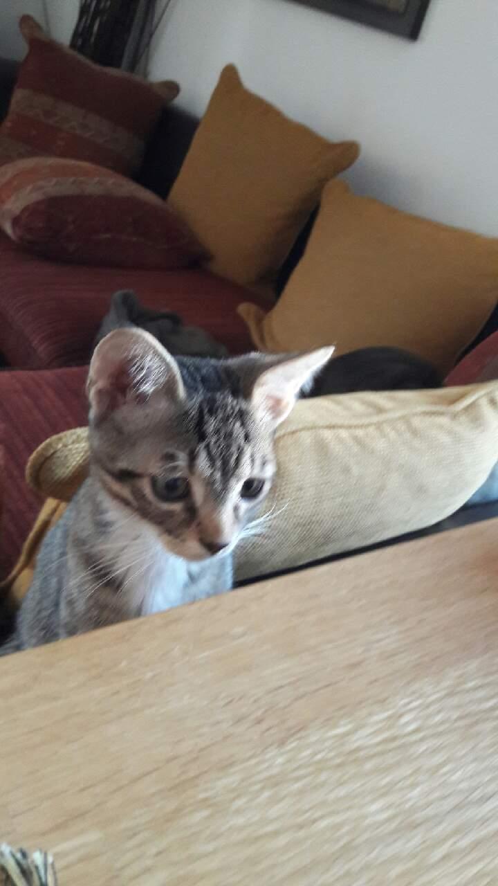 moupy - MOUPY, chaton mâle tigré et blanc, né le 01/09/16 Img_3224