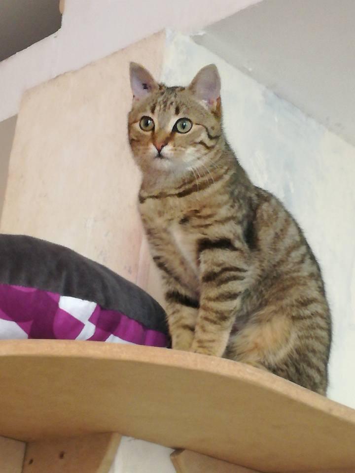maella - Maella, femelle, européenne, tigré marron, née le 01/07/16 Maella12