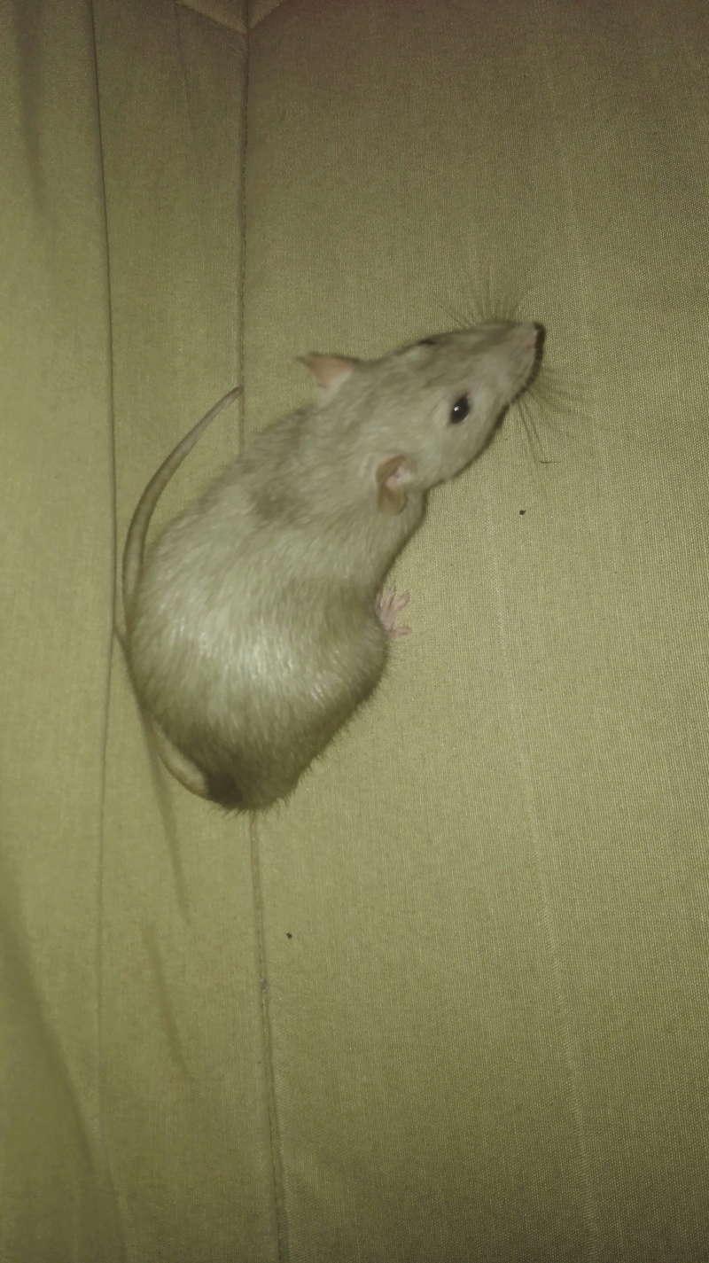Nala petite ratoune hyperactive de 3-4 mois  [Bordeaux 33] Img_2017