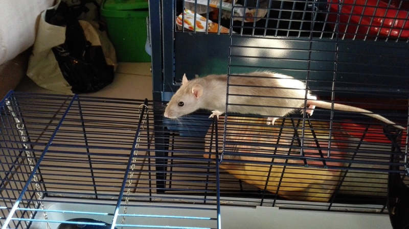 Nala petite ratoune hyperactive de 3-4 mois  [Bordeaux 33] Img_2019