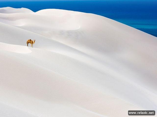 Pustinje - Page 4 Camels10