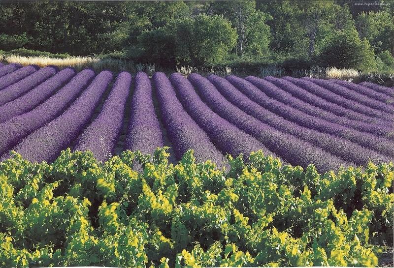 polja lavande - Page 3 Lavand70