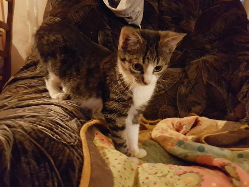 VENUS (ex TITI) - chaton femelle, née avril 2016 - En FA chez Abysse (92) - ADOPTEE PAR ANNE et FATLUM (depart94) 20161119