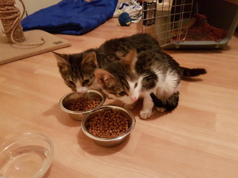 VENUS (ex TITI) - chaton femelle, née avril 2016 - En FA chez Abysse (92) - ADOPTEE PAR ANNE et FATLUM (depart94) 20161120