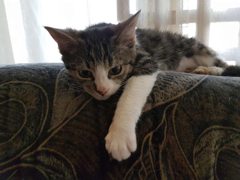 VENUS (ex TITI) - chaton femelle, née avril 2016 - En FA chez Abysse (92) - ADOPTEE PAR ANNE et FATLUM (depart94) 20161122