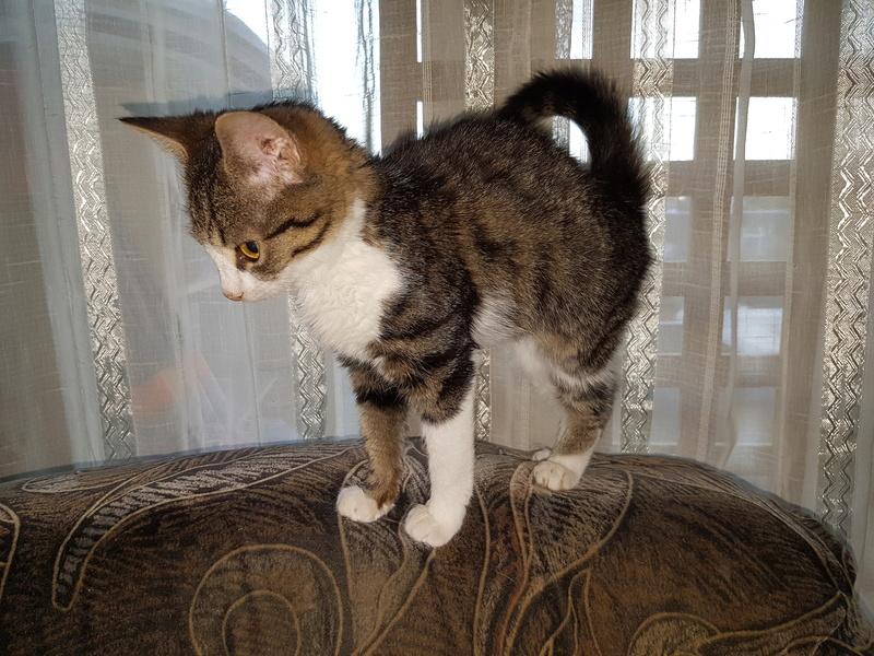 VENUS (ex TITI) - chaton femelle, née avril 2016 - En FA chez Abysse (92) - ADOPTEE PAR ANNE et FATLUM (depart94) 20161123