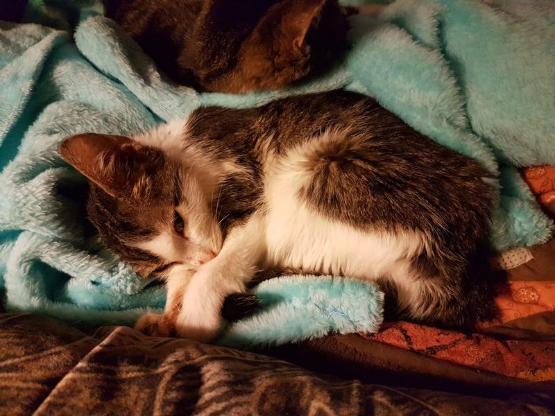 MILKA (ex CLOCHARD) - chaton mâle, né en juin 2016 - En FA chez Abysse (92) - Adopté par Imen (78) 20161133